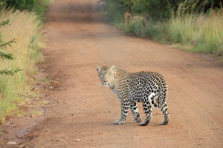 Jaguar on a path