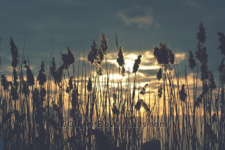 Dry reed in the sunset